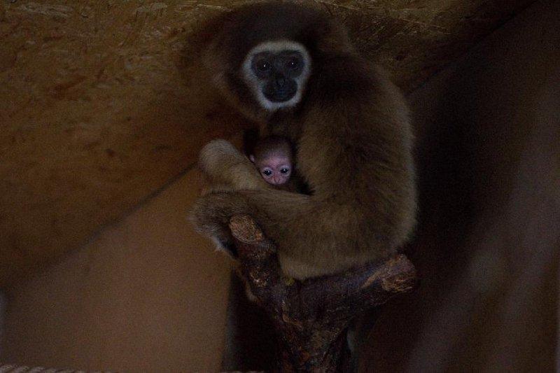 Prvním mládětem roku je gibon.