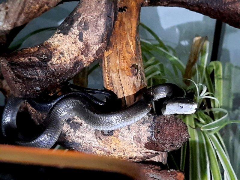Mamba černá (Dendroaspis polylepis)