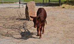 Watusi , Vahumský skot neboli masajská kráva
