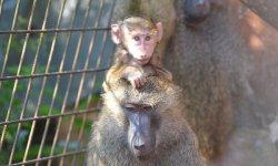 Pavian babuin