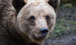 Medvěd brtník