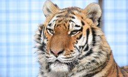 Ilustrační fotografie k článku Tygr ussurijský