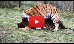 Ilustrační fotografie k článku Intenzivní páření tygrů ussurijských