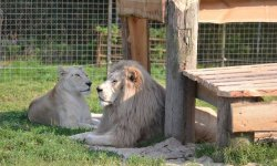 Lev jihoafrický bílý