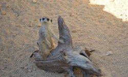 Ilustrační fotografie k článku Malá šelmička - surikata vlnkovaná