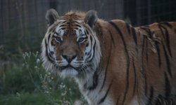 Ilustrační fotografie k článku Tygr Dolar má 18. narozeniny