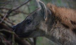 Ilustrační fotografie k článku Vysněné zvíře - hyena skvrnitá