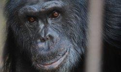 Ilustrační fotografie k článku Sedm let se šimpanzem Bongem