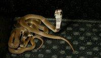Naja naja (Kobra indická) a její odchov