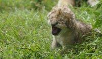 Malý zázrak ve lví rodině