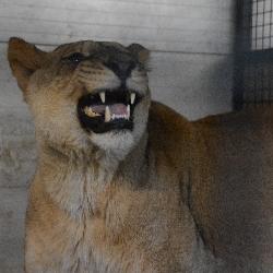 Lví slečna