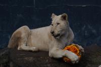 Jak si lvíčata poradila s dýněmi