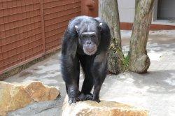 Iustrační foto k Šimpanz učenlivý