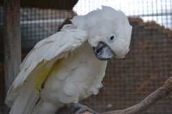 Iustrační foto k Kakadu bílý