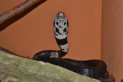 Iustrační foto k Kobra černá