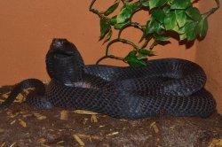 Iustrační foto k Kobra černokrká