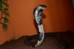 Iustrační foto k Kobra siamská