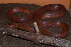Iustrační foto k Kobra červená