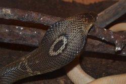 Iustrační foto k Kobra monoklová