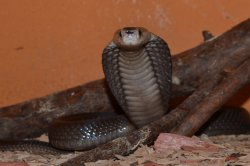 Iustrační foto k Kobra jávská