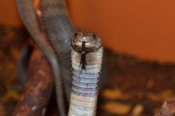 Iustrační foto k Kobra středoasijská