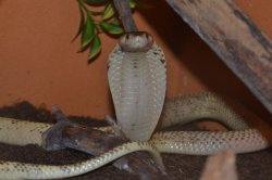 Iustrační foto k Kobra sumatránská