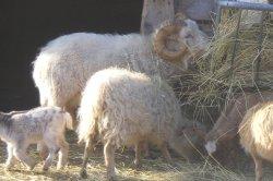 Iustrační foto k Ovce ouessantská