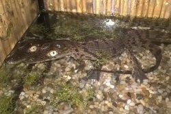 Iustrační foto k Krokodýl nilský jihoafrický