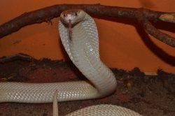 Iustrační foto k Kobra monoklová sufánská