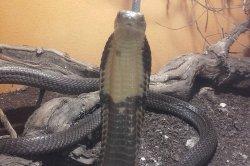 Iustrační foto k Kobra královská