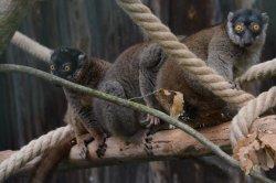 Iustrační foto k Lemur hnědý