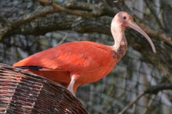 Iustrační foto k Ibis rudý