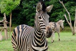 Iustrační foto k Zebra Chapmanova