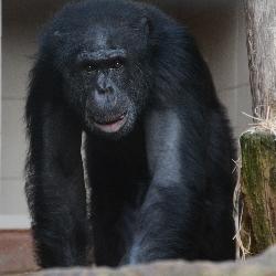 Sedm let se šimpanzem Bongem