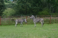 Zebra Chapmanova nově v zoo