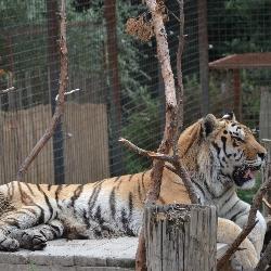 Mezinárodní den tygrů - 29.7.2018