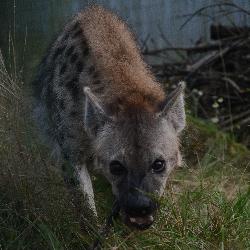 Vysněné zvíře - hyena skvrnitá