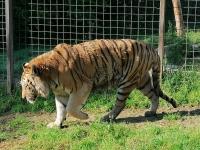 Nejstarší tygr držený v lidské péči žije ve Dvorci