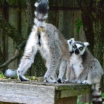 Lemury lze vidět za každého počasí.
