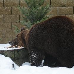 Medvědí narozeniny