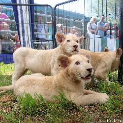 Lvíčata