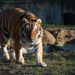 Tygří pedikúra.