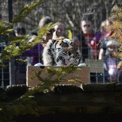 Tygřice Blacky - věková rekordmanka