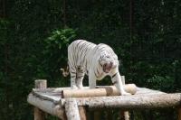 Světový den tygrů