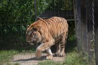 Den pro tygry