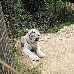 Mezinárodní den tygrů a míče pro tygry.