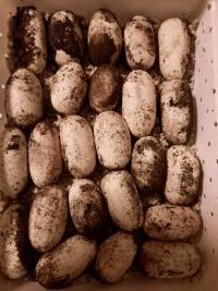 Asijská kobra nakladla velké množství vajec