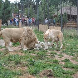 Křtiny bílých lvíčat